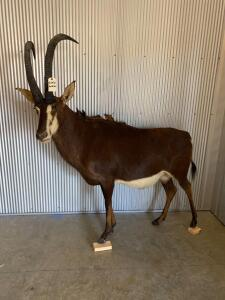 Full Body African Sable Antelope Taxidermy